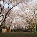 御津山園地(大恩寺山)は愛知県豊川市の桜の名所!満開の桜を撮影してきました!